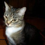 cks_Короткова Алена, 12 лет Мой кот РФ, Ханты-Мансийский автономный округ - Югра, г. Ханты-Мансийск